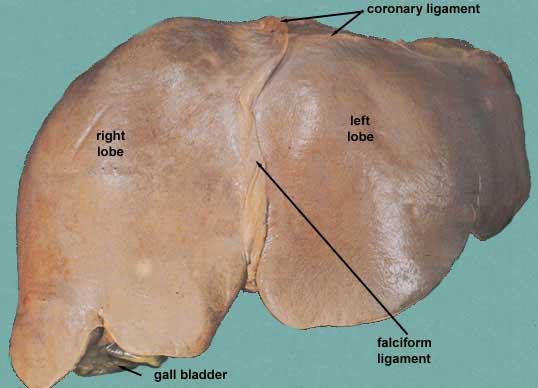 Ligamentum Teres Liver