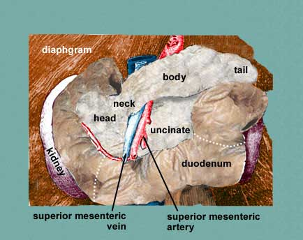 Pancreas: Pancreas Uncinate ProcessUncinate Process Pancreas