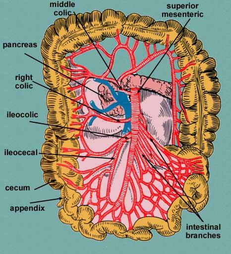 Inferior Mesenteric Artery. Superior Mesenteric Artery